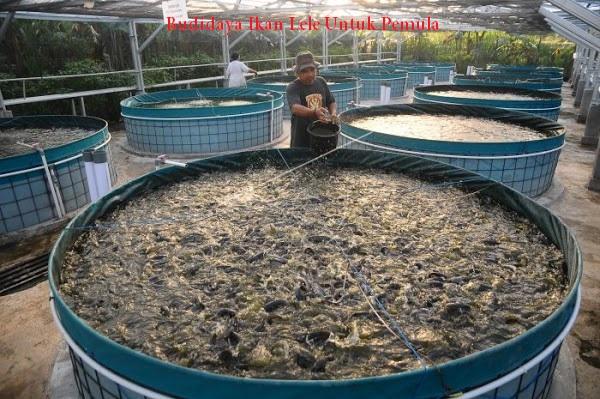 Budidaya Ikan Lele Untuk Pemula